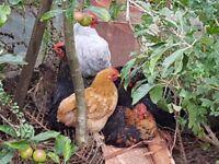 Pekin hens/roosters