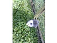 guinea piggy babys