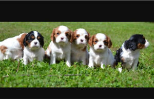 Wanted : looking for a Cavalier King Charles Spaniel dog