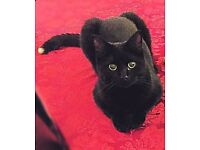 Missing cat. Male, black with white tip on tail. From Clarkston area in Glasgow. Microchipped.