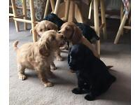 Cockapoo puppies PRA and FN clear ready now