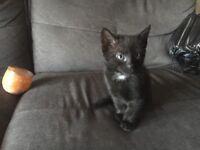 Boy kittens for sale