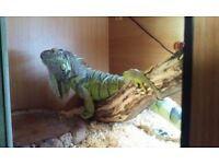 2yr old female iguana with 5ft viv and accesories