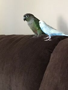 Green cheeked conture and budgie