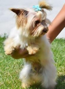 Purebred Imported Biewer Yorkshire Terriers & Chihuahuas