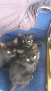 Hello we are three 9 wk old female kittens looking for homes.