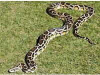 9ft python (Burmese)