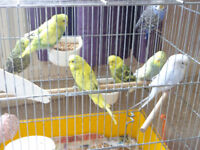 3 to 6 month old budgies £10 each