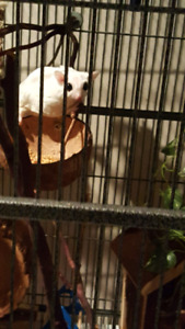 Two male sugar gliders(bonded) looking for forever home!