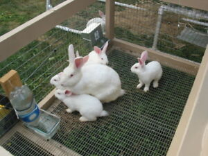 Pure Bred NewZealand white bunnies