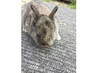 Baby netherland dwarf rabbits very cute and cuddly LOOK
