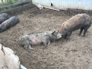 Bred Gilts and Sows