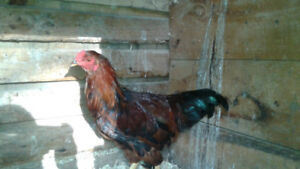 partridge chanticleer rooster