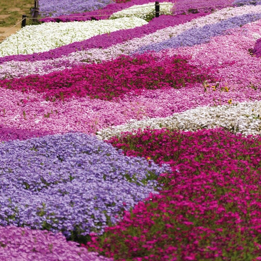 Creeping Phlox Ground Cover Evergreen Perennial Plant In
