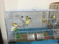 Baby canaries