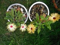 Plants for sale-Livingstone Daisy-70p per plant in this aluminium container.