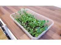 Make An Offer | Mother of Thousands Cool Indoor Succulent House Plant | Bryophyllum daigremontianum