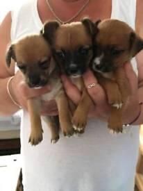 Xchiwahawa Pomeranian puppies