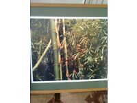 Professionally Framed Photograph of Bamboo