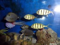 marine golden trevally ( pilot fish ) ( ALL SOLD )