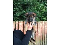 Beautiful German Shepherd Pups Ready to Go to a New Home