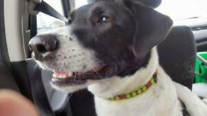 "Adult Male Dog - Great Dane-Border Collie: ""Juno"""