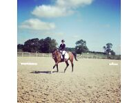 Visual Art 16.2hh 15yr TB GELDING