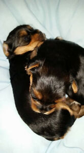 PB Registered  CKC Yorkshire terrier puppies male