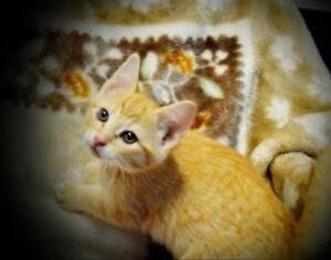 Baby Male  - Domestic Short Hair (Orange & White)-Tabby