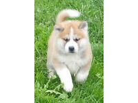 Japanese akita inu puppy - last one