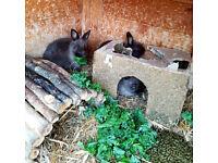 Sweet baby Netherland Dwarf Rabbits