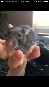 Male rats to rehome