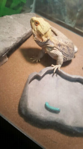 Bearded Dragon 1 year male includes all accessories