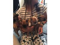 Chihuhua puppies