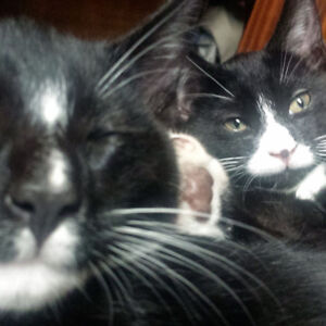 Moving - Re-Homing Adult Cats (Tuxedo Twins)