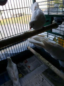 4 White Doves  very tame