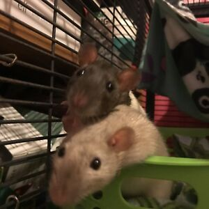 Looking for 2 more male rats