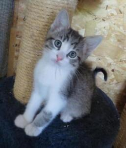 """Baby Male Cat - Domestic Short Hair-Tabby (Brown): """"TAYLOR"""""""