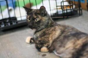 """Young Male Cat - Domestic Medium Hair: """"Victoria"""""""