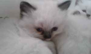 Himalayan ragdoll kittens male and female blue or seal point