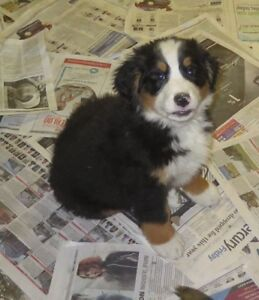 Sweet Bernese Mountain Dog pups for sale