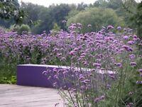 Perennial plants for sale - Verbena Bonariensis £2 - Available 19 August