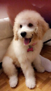 beautiful goldendoodle puppy