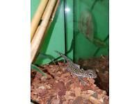 Pictus gecko
