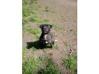 16mth male Staffordshire bull terrier for sale