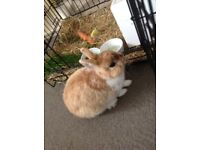 Found adult male rabbit