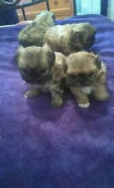5 pekinese puppies