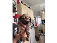 Two male lhasa apso puppies for sale