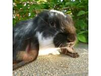 Neutered English lop