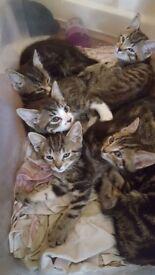 2 beautifull tabby kittens left